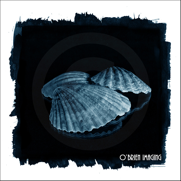 Digital image of a sea shell (Digital Cyanotype)